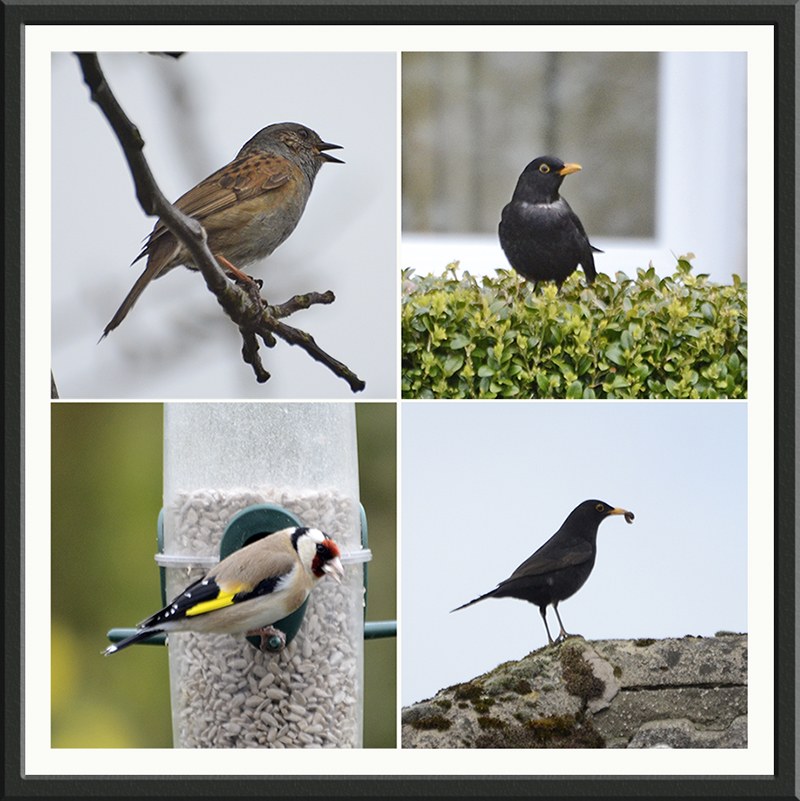 dunnock blackbird goldfinch