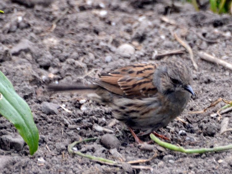 dunnock on ground