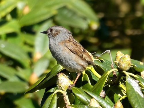 dunnock on rhododendron