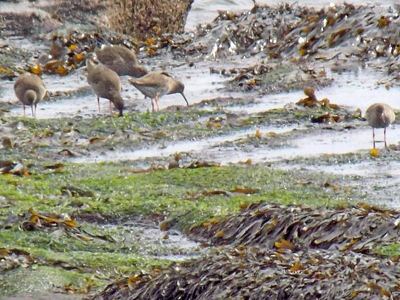 east wemyss shorebirds