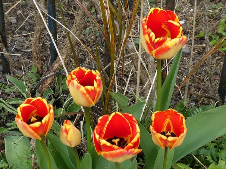 fancy tulips