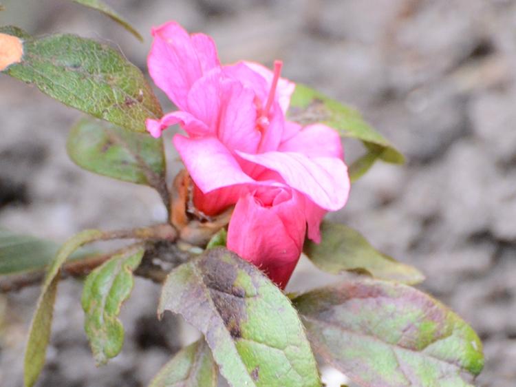 first azalea
