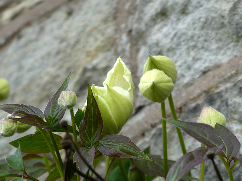 first clematis flower
