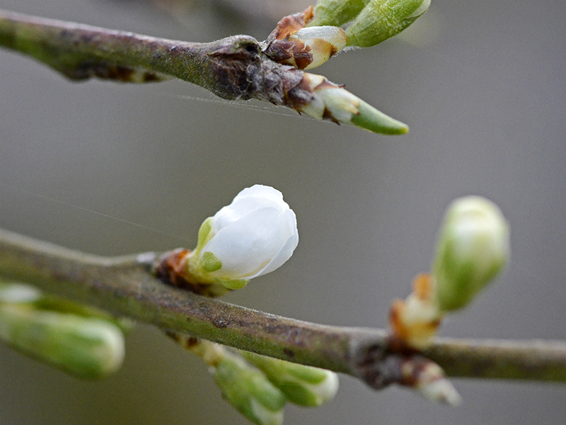 first plum blossom