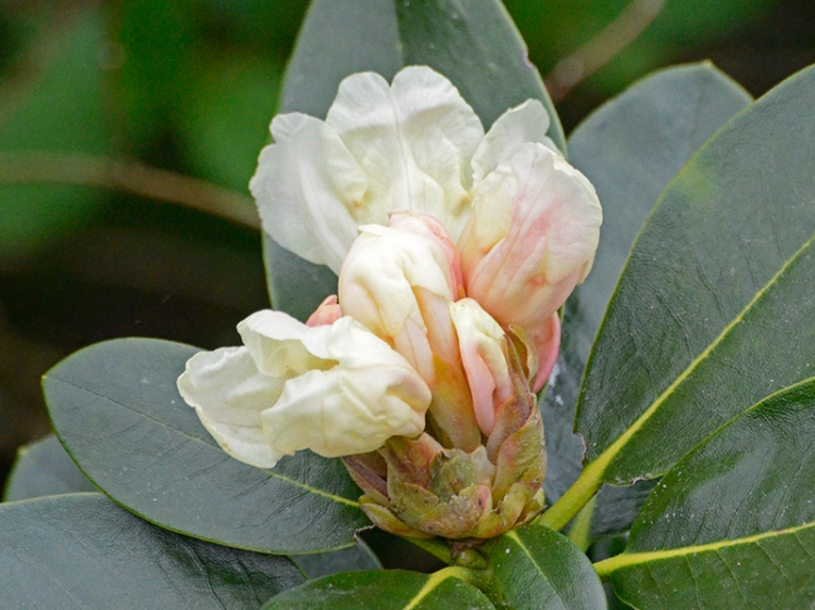 first rhododendron