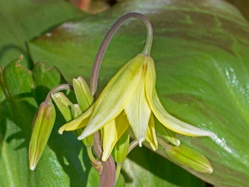 first trout lily