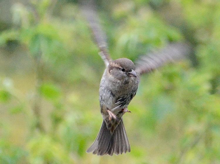 fling sparrow