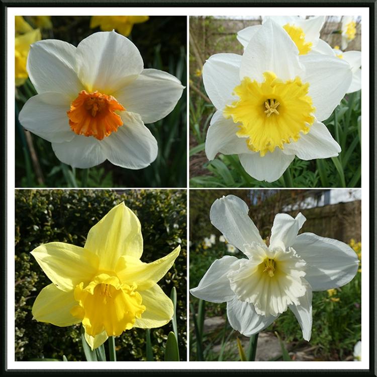 four daffodil panel