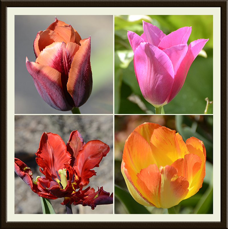 four lovely tulips