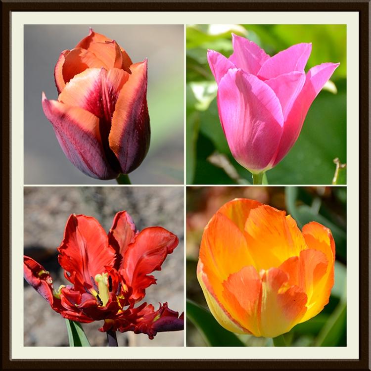 four lovely tulips