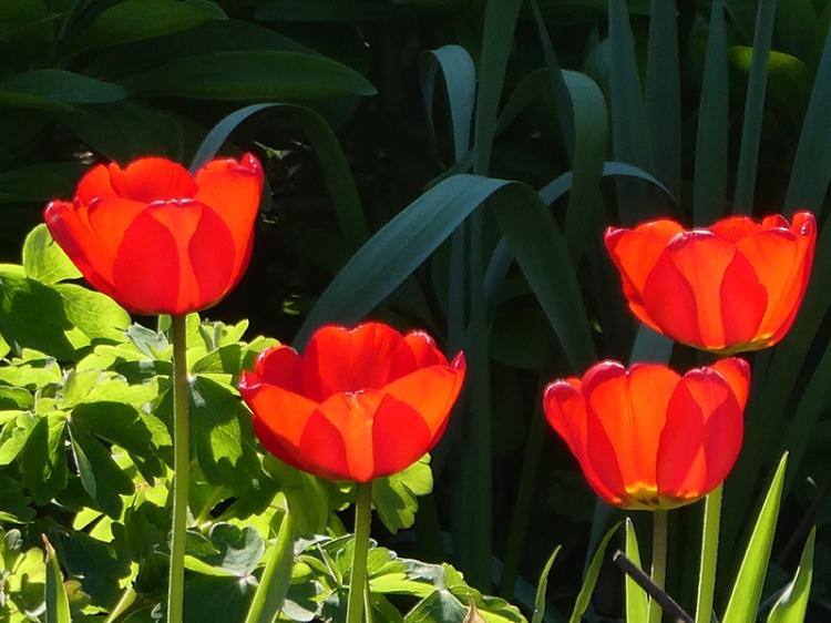 four luminous tulips