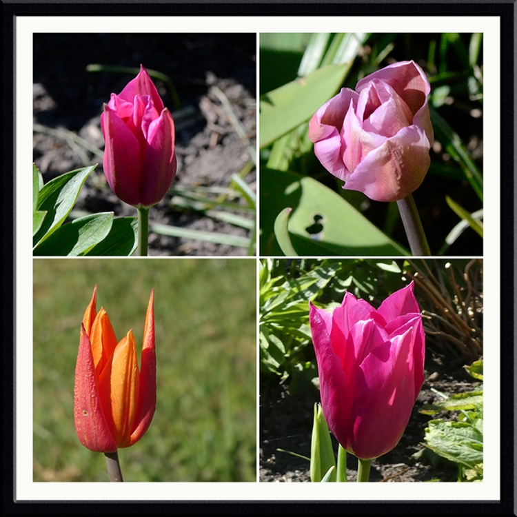 four new tulips