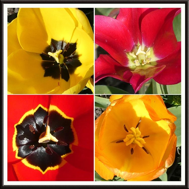 four tulip hearts