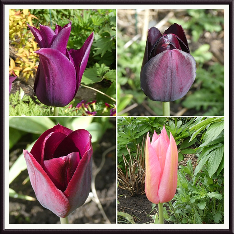 four tulips april 30