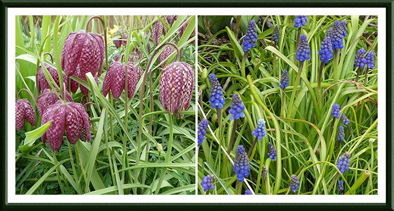 fritillary and hyacinth