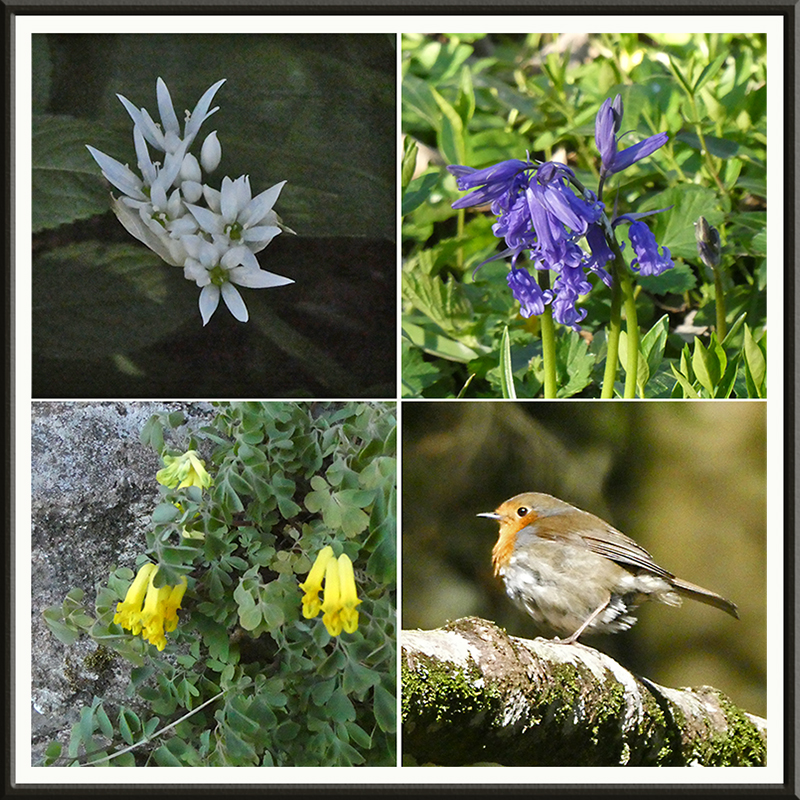 garlic, bluebell, robin, corydalis
