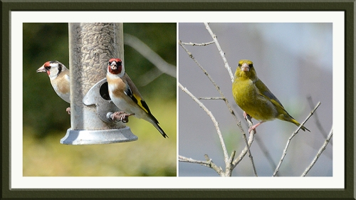goldfinch and green finch