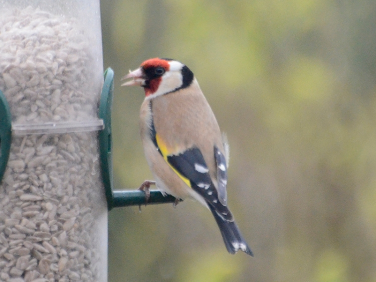 goldfinch april