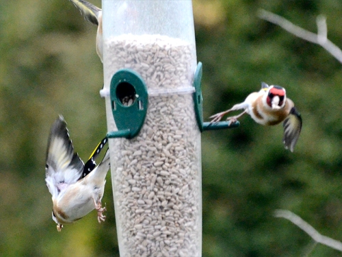 goldfinches coming and going