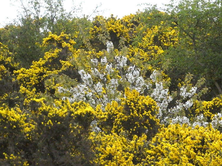 gorse and blossom