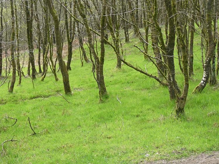 grass in birch wood april