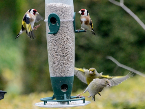 greenfinches and goldfinches