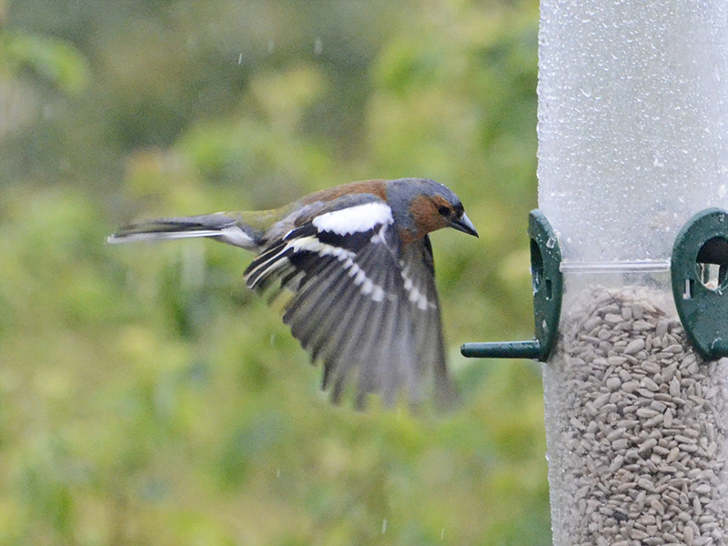 head banger chaffinch