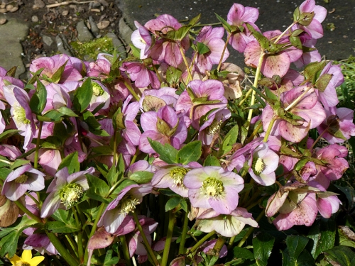 hellebore looking up