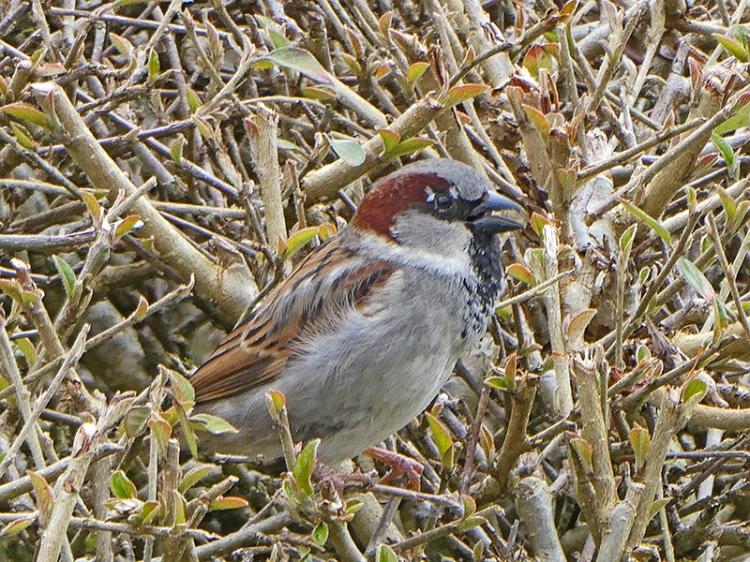 house sparrow kirk birg