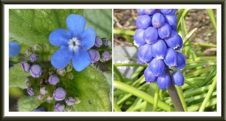 hyacinth and brunnera
