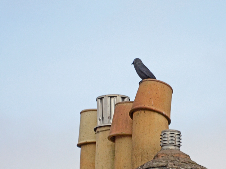 jackdaw nesting in chimney