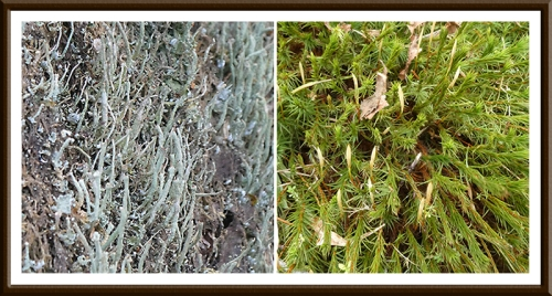 kernigal moss and lichen