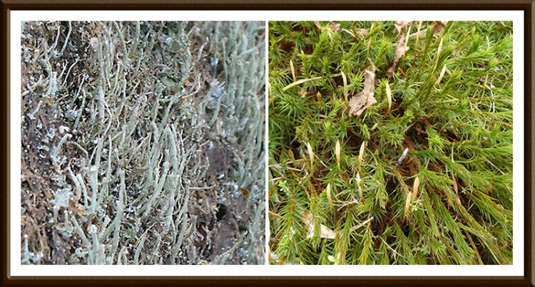 kernigal moss and lichen