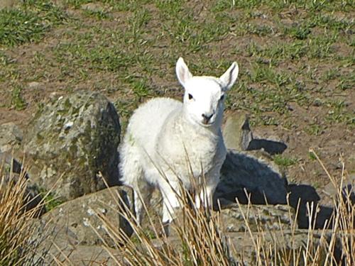 lamb bloch