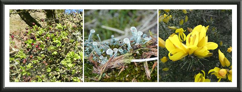 lichen gorse hawthorn