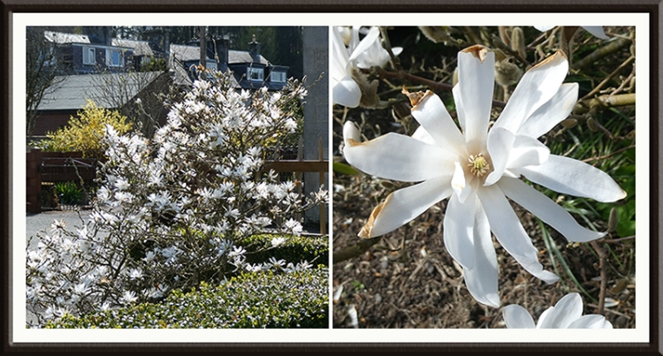 magnolia flower damage