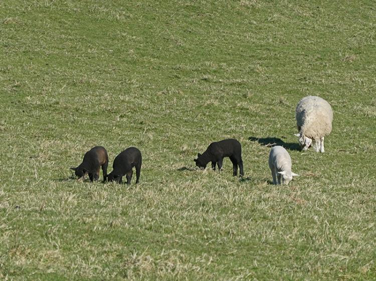 mixed lambs