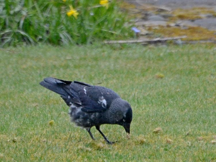 mottled jackdaw lawn pecking