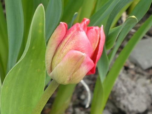 nearly tulip