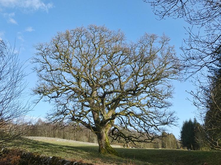 oak tree longwood