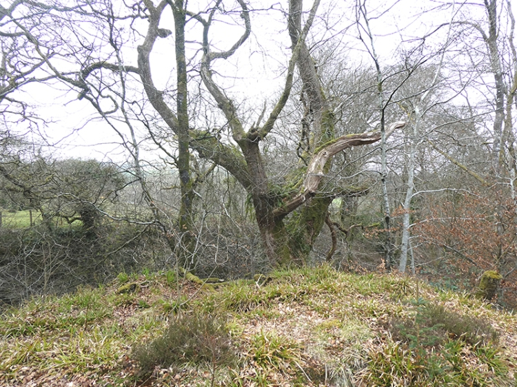 old tree gaskells