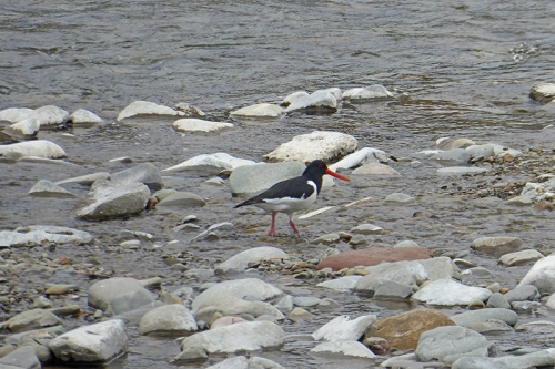 oyster catcher moving off