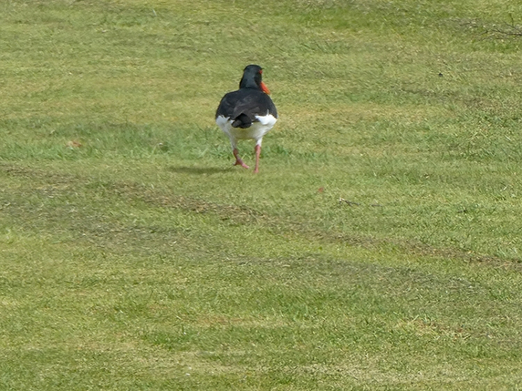 oyster catcher on golf course