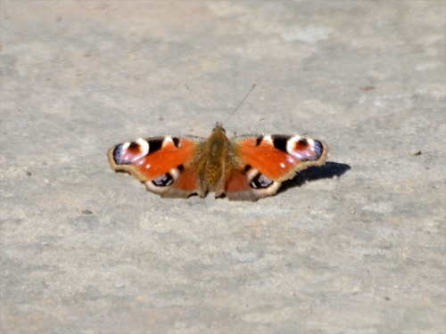 peacock butterfly warming
