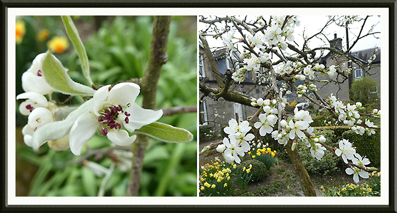pear and plum blossom