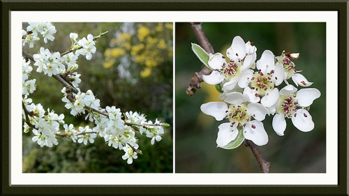 plum and pear blossom