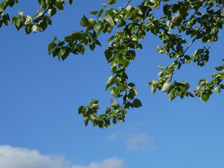 poplar leaves park