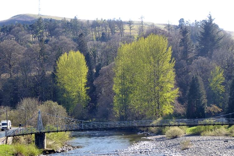 poplars from bridge