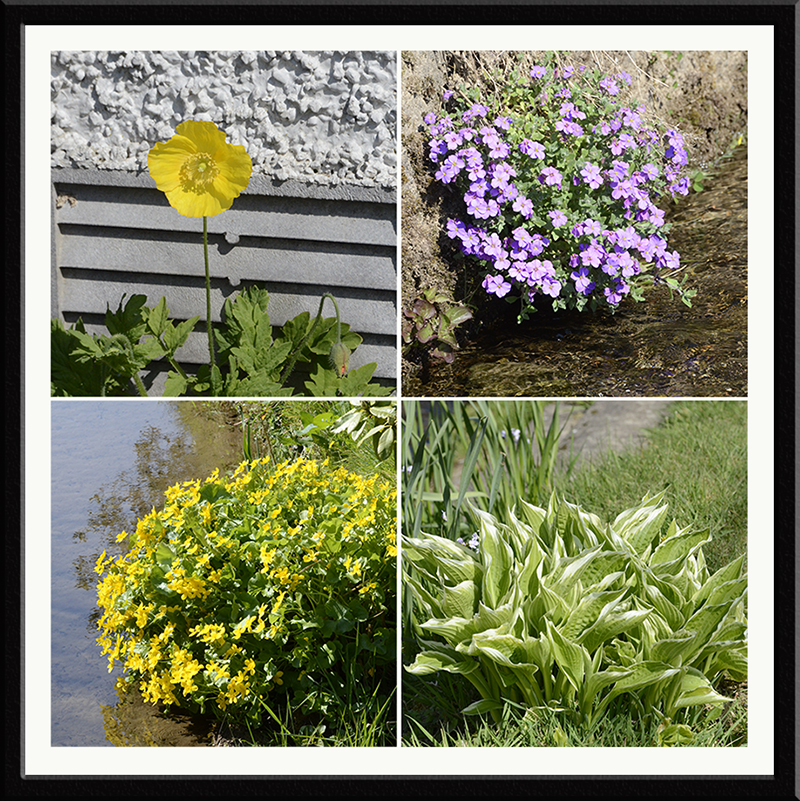 poppy, hosta, aubretia and marsh marigold