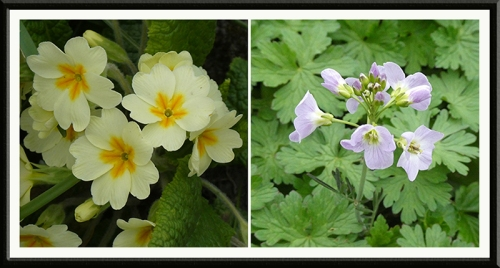 primrose and lady's smock